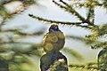 24 March 2015 Eurasian Tree Sparrow (190585413).jpeg