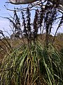 2 metre tall swamp plant West Head Road.JPG