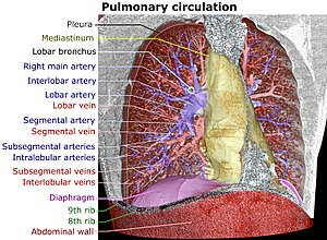Pulmonary circulation - Image: 3D CT of thorax, annotated