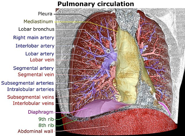 Lung - Wikiwand
