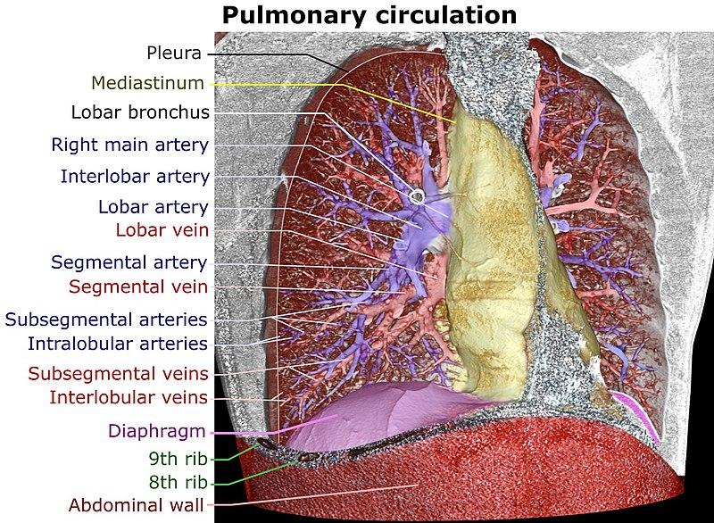 Pulmonary artery - Wikiwand
