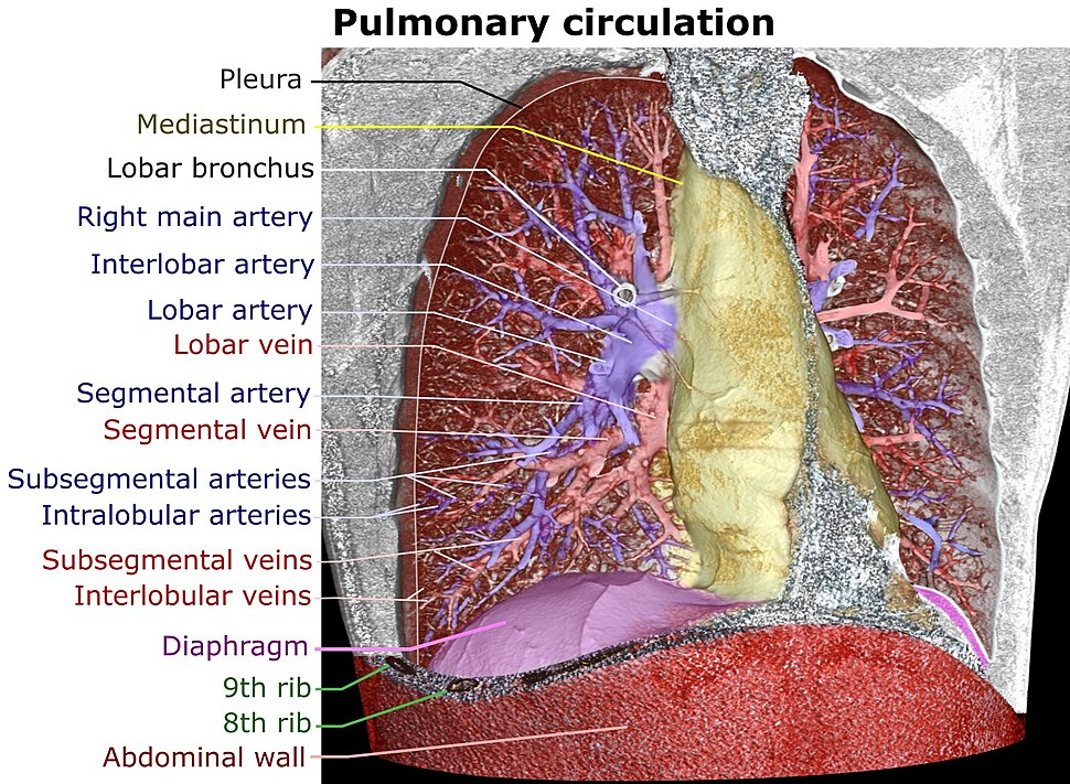 3D CT of thorax, annotated