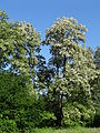 617683 A 683 Krakow Krzesławice Wankowicza 25 park w zespole dworsko parkowym 43.JPG