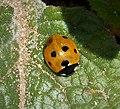 7 spot Ladybird. Coccinella 7-punctata (39106173522).jpg