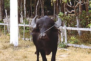 Marajó - Water buffalo on Marajó