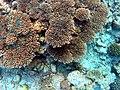 A. tenuis (ou vermiculata).JPG