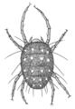ACAR Tetranychidae Panonychus ulmi.png