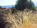 ARCH ricegrass.jpg