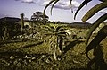 ASC Leiden - Rietveld Collection - East Africa 1975 - 05 - 039 - A landscape with a kind of cactus palm. At the right an agave - Masvingo, Zimbabwe.jpg