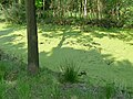 A ditch full of duckweed in the peatland Fochterloerveen; North Netherlands, spring 2012.jpg