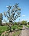 A flowering tree - geograph.org.uk - 1261940.jpg
