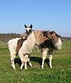 A llama and its offspring - geograph.org.uk - 1801614.jpg