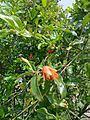 A pomogranate flower.jpg