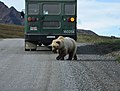 A sight-seeing bus pauses to view a bear as it crosses the park road (af43d325-98c1-4492-a8f1-e81e33f83834).jpg