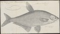 Abramis ballerus - 1774-1804 - Print - Iconographia Zoologica - Special Collections University of Amsterdam - UBA01 IZ15000126.tif
