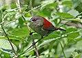 Abyssinian Crimsonwing (Cryptospiza salvadorii) (male).jpg