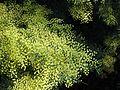 Acacia caesiella 1380.jpg
