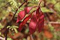 Acacia chariessa03.jpg