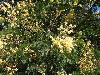 <i>Acacia elata</i> species of plant