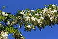 Acacia flourished - Salcam inflorit - panoramio.jpg