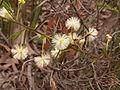 Acacia genistifolia (5055340755).jpg