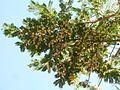 Acacia sieberiana, blomme, Pretoria, f.jpg