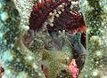 Acanthaster planci estomac plis.jpg