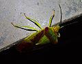 Acanthosoma haemorrhoidale.jpg