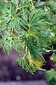 Acer palmatum var. dissectum Viridis 1zz.jpg