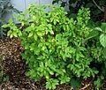 Achyranthes mutica (4742574113).jpg
