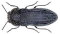 Acmaeoderella coarctatus (Lucas).png