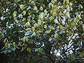 Actinodaphne ¿ angustifolia ? (8290314815).jpg