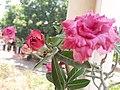 Adenium obesum Flower.jpg