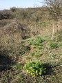 Adonis vernalis sl61.jpg