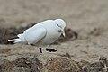 Adult-Ivory-Gull (Pagophila eburnea).jpg