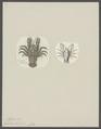 Aeglea laevis - - Print - Iconographia Zoologica - Special Collections University of Amsterdam - UBAINV0274 096 14 0009.tif