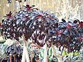 Aeonium arboreum atropurpureum (3424130737).jpg