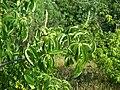 Aesculus californica-15.jpg