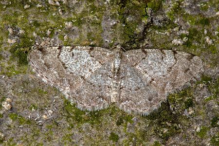 Aethalura punctulata, Lodz(Poland)01(js).jpg