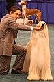 Afghan hound dogshow.jpg