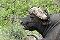 African Buffalo (Syncerus caffer) (17214596280).jpg