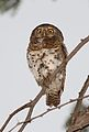 African barred owlet, Glaucidium capense, in the tree we were camped under at Savuti, Chobe National Park, Botswana (33885857646).jpg