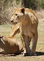 African lion, Panthera leo feeding at Krugersdorp Game Park, South Africa (29957163442).jpg