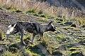 African wild dog (7660880326).jpg