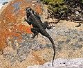 Agama atra - female Southern Rock Agama - Cape Town 9.JPG