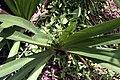 Agapanthus africanus 9zz.jpg