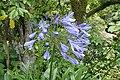 Agapanthus praecox subsp orientalis kz02.jpg