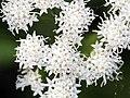 Ageratina altissima SCA-6156.jpg