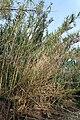 Aghanim Aḥarbun Phragmites australis.jpg