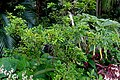 Aglaia odorata - McKee Botanical Garden - Vero Beach, Florida - DSC03028.jpg